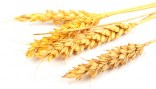 4115wheat_ears-cropped